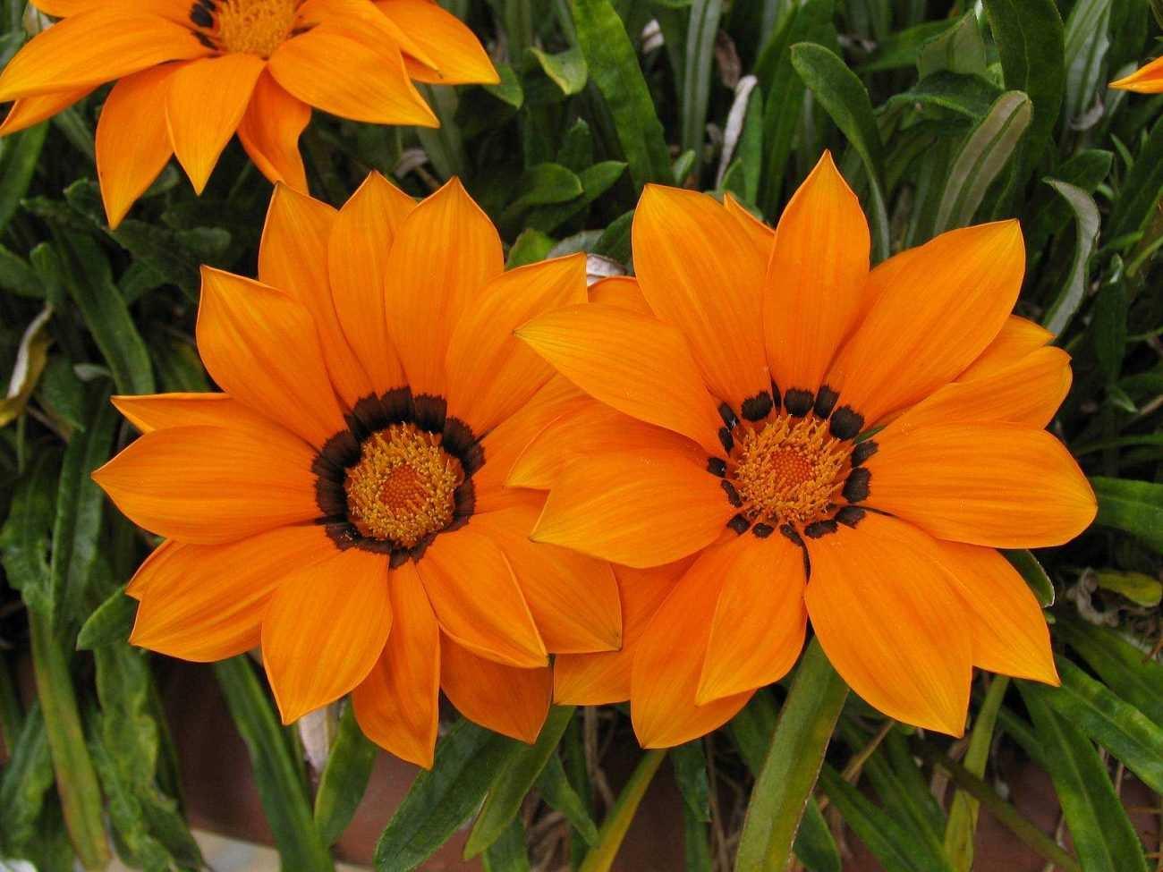 Цветы гацания семена фото