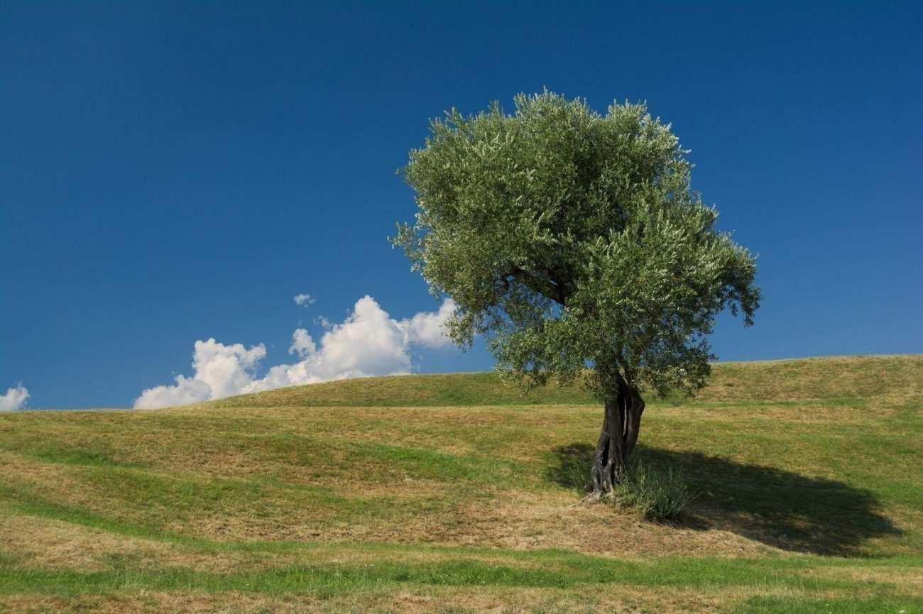 zeytin ağacının mitolojik hikayesi