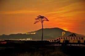 mucize çam ağacı japonya