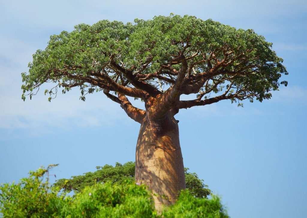 Hayat Ağacı 'Baobab'