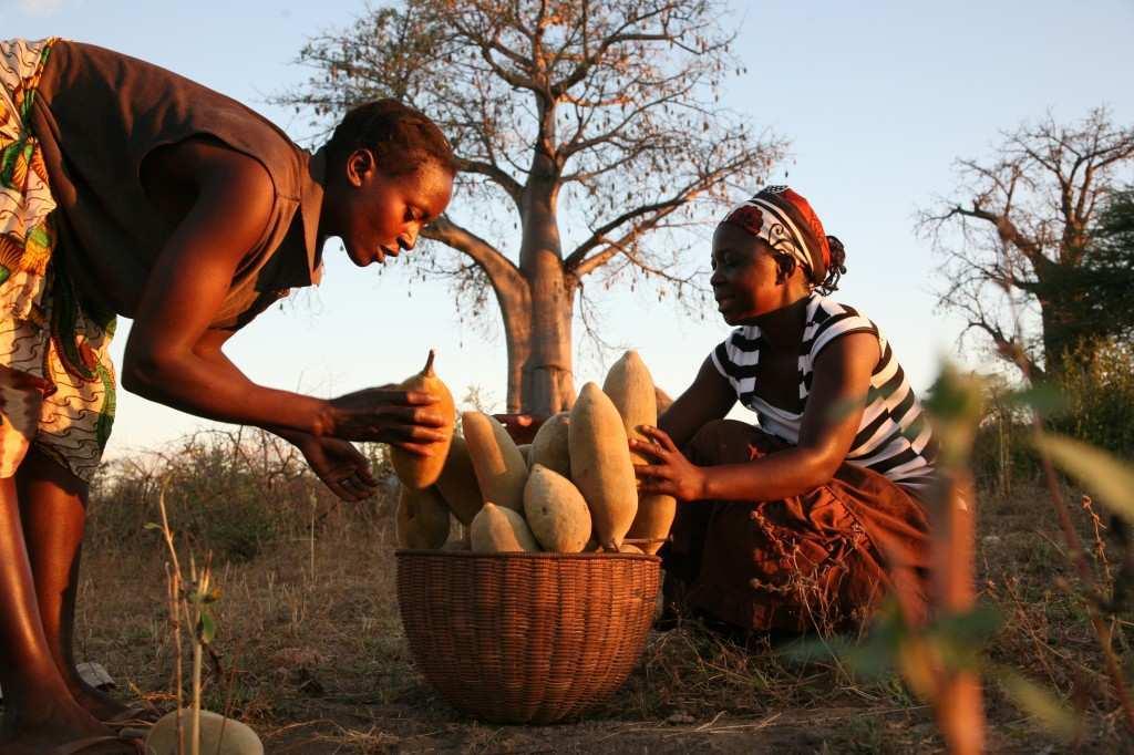 Hayat Ağacı 'Baobab' meyvesi afrika