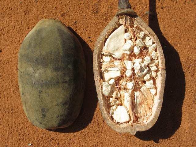 Hayat Ağacı 'Baobab' meyvesi