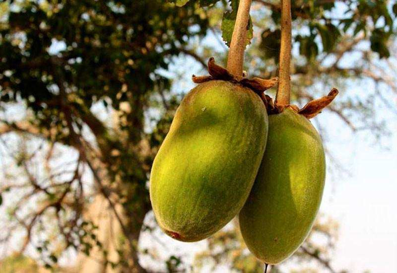 Hayat Ağacı 'Baobab' tohumu