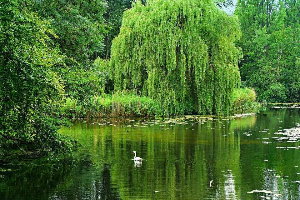 salkım söğüt ağacı: şarkılarda geçen bitkiler