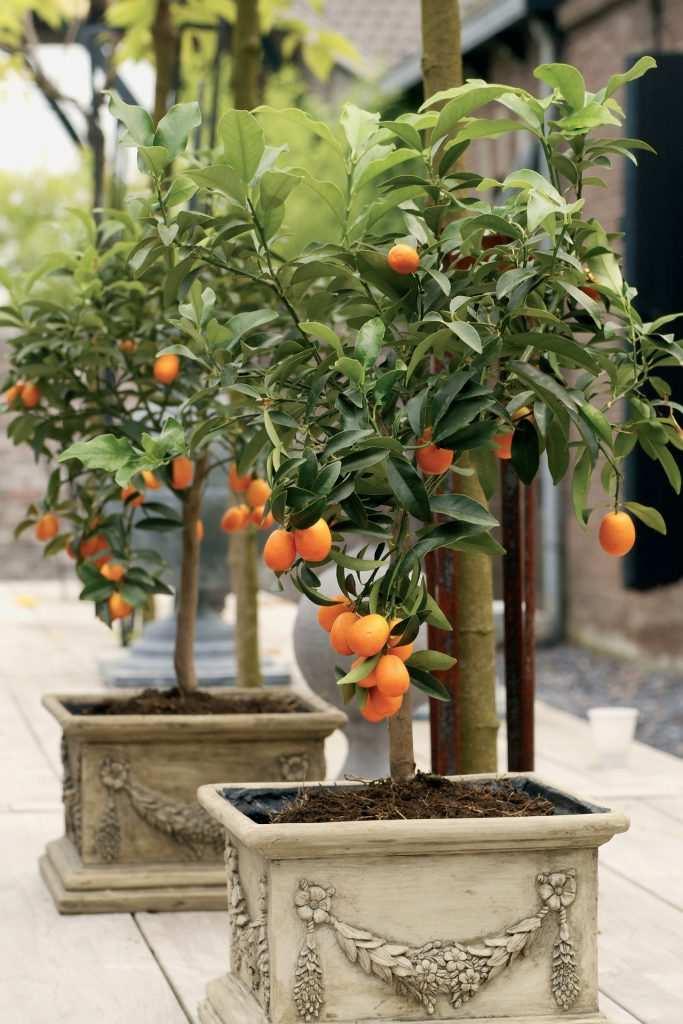 nareciye citrus turunçgiller fotoğrafı