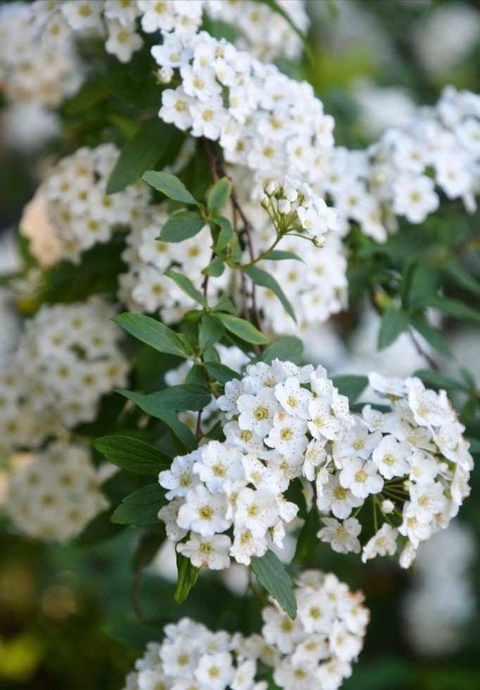 Spıraea Vanhouttei - Beyaz Çiçekli Keçi Sakalı Bitkisi